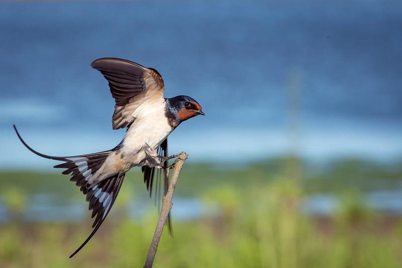 Swallows Day Parade 2020 San Juan Capistrano