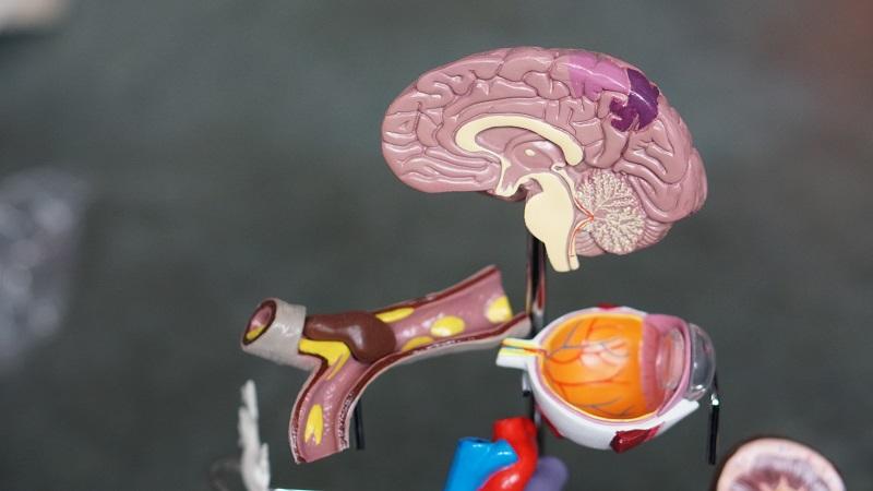 Herbalife Brain Health Benefits Model of a Brain Taken Apart