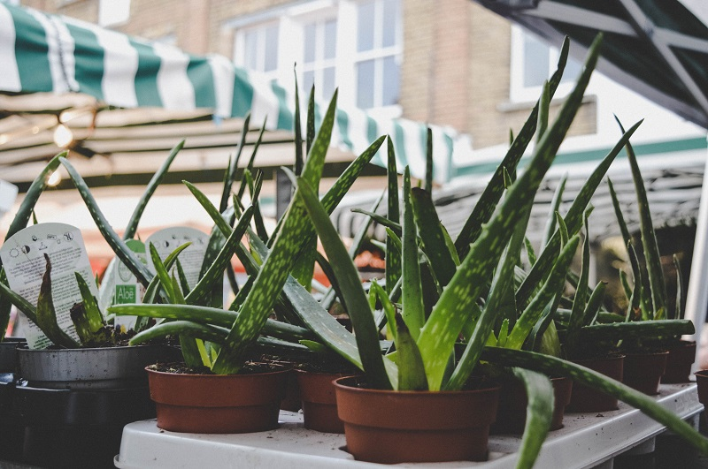 Benefits of Aloe in your Beauty Routine Planters Filled with Aloe Plants
